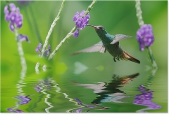 Beautiful hummingbird in reflection Poster