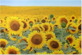 Beautiful sunflower field Poster