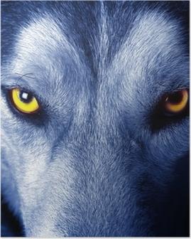 Poster Beaux yeux d'un loup sauvage.