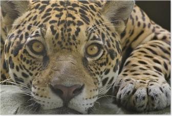 Big cat jaguar looking at the camera Poster