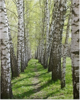 Birch-tree alley Poster