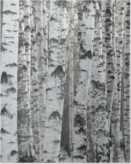 Poster Birch Tree Forest Winter Background
