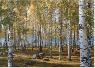 Birchwood forest in the fall Poster