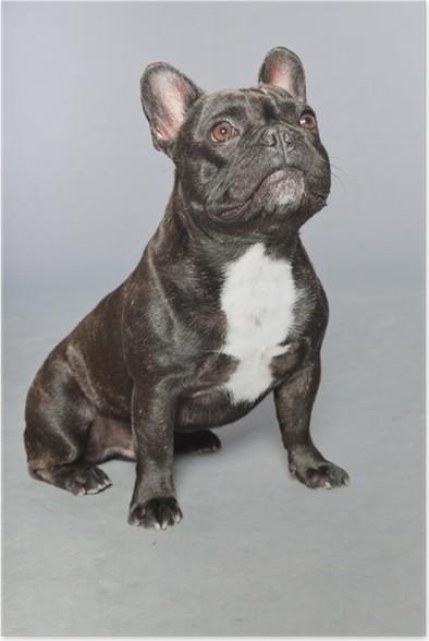 black french bulldog white chest funny dog poster pixers we