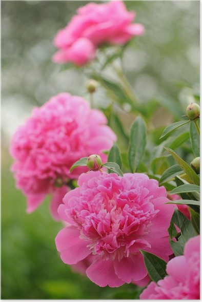 Blooming peony bush with large pink flowers poster pixers we blooming peony bush with large pink flowers poster mightylinksfo