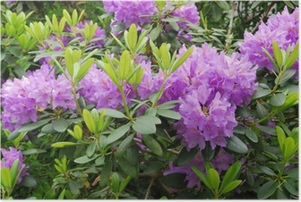 Blooming rhododendron Poster