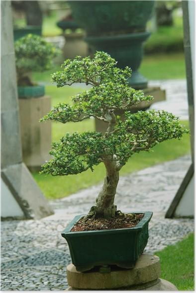 https://t1.pixers.pics/img-1fb6f67c/posters-bonsai-d-39-interieur-dans-un-pot.jpg?H4sIAAAAAAAAA3VOW27EIAy8DpGStQ0ESA6wv3uEiA1kSxsSBNl21dOXqOpnZcmPsccz8NyKXTzMfjt8hhicWz0sYa1TGbMv4dszbPveNGNFV4aIzbh_-jznPbGOJG-7vh6QaRXV1ZetzGjzB3s7jlRGgCIuKbzqu1rmAnMswJE0oIF-ME5Jj1JaZafUpexjeMaOEF_U4yVtjxbPaP6saMRWnxaOHCKrnvYqdrD39GjgH8HfHioLrjcgDkKfmcQJTdcbcaGJk5ik4n6Q2uIihnmxhrhy7j7gYpxR8m4vVeUH0vWCIDABAAA=