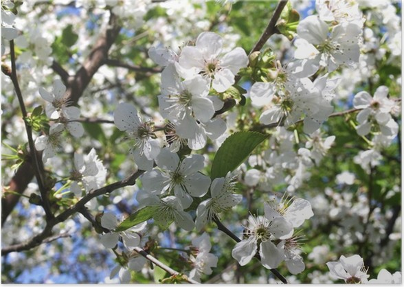 Branch of a blooming fruit tree with white flowers poster pixers branch of a blooming fruit tree with white flowers poster mightylinksfo