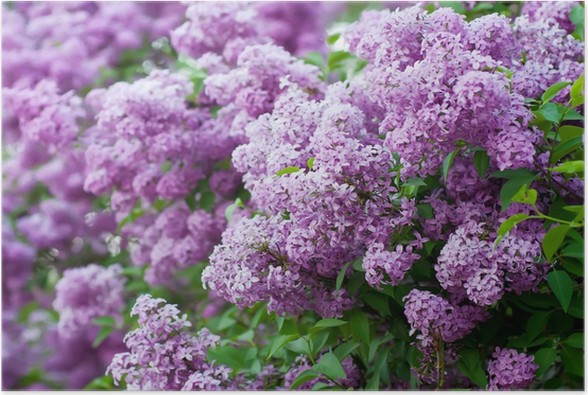 Branch of lilac flowers Poster - Happiness