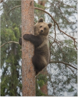 Brown bear climbing tree in Tiaga forest Poster