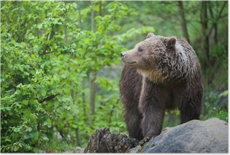 brown bear (lat. ursus arctos) Poster