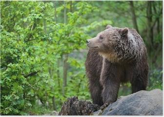 brown bear (lat. ursus arctos) Poster