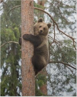 Poster Bruine beer klimmen boom in Tiaga bos