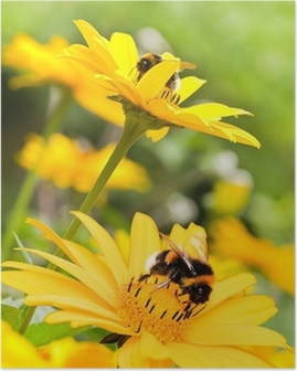 Bumble bees on sunflowers in summer garden Poster