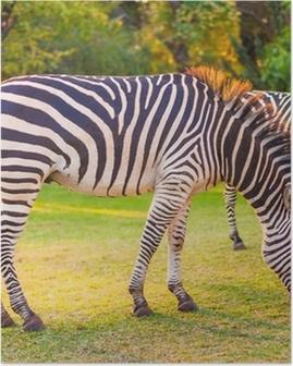 Póster Cebra común (Equus quagga) pastoreo