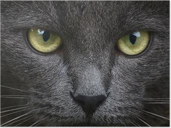 Póster Cerca de retrato de gatito gris