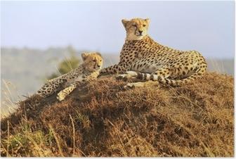 Poster Cheetahs sur le Masai Mara en Afrique