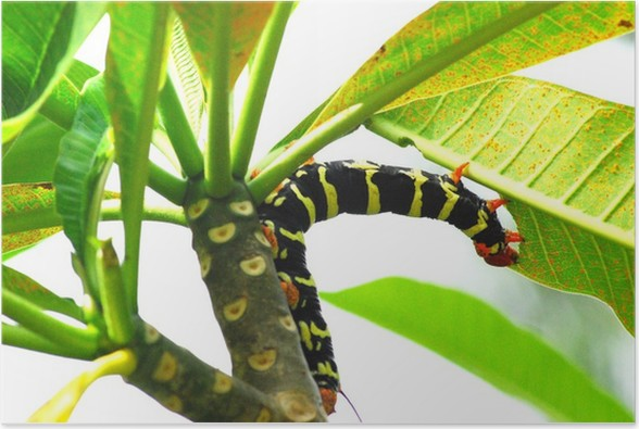 Chenille Caterpillar Papillon chenille de papillon de nuit de guadeloupe poster • pixers® • we