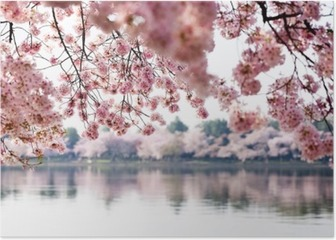 Cherry Blossoms over Tidal Basin in Washington DC Poster