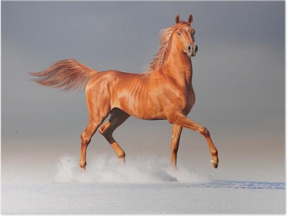 Poster Cheval Arabe en hiver -