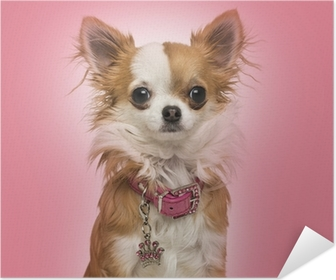 Chihuahua wearing a shiny collar, sitting on pink background Poster