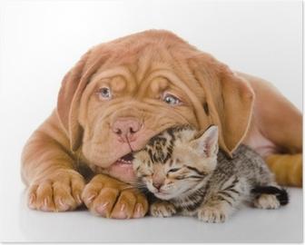 Poster Chiot Bordeaux chien jouant avec le chaton bengal. isolé