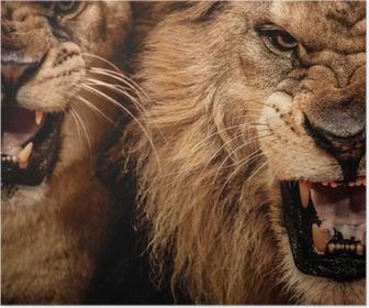 Poster Close-up abattu de deux lion rugissant