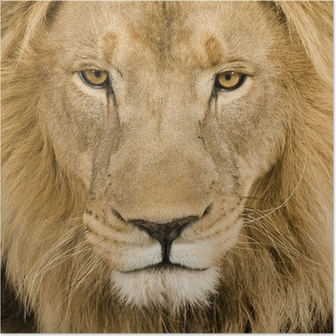 Close-up on a Lion's head (4 and a half years) - Panthera leo Poster