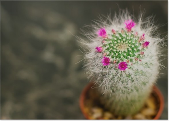Closeup of a cactus with pink flower mammillaria hahniana poster closeup of a cactus with pink flower mammillaria hahniana poster mightylinksfo