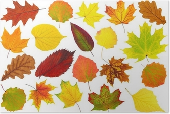 Colorful autumn leaves isolated on white Poster