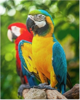 Colorful blue parrot macaw Poster