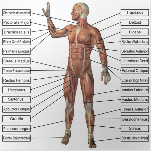 Póster Conceptual de alta resolución 3D de la anatomía humana y del ...