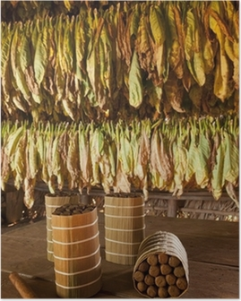 Cuban cigars in drying house Poster