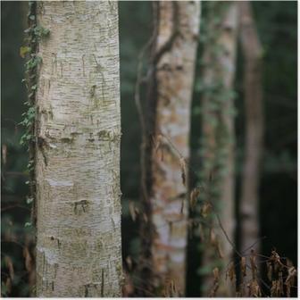 dark birch tree forest Poster