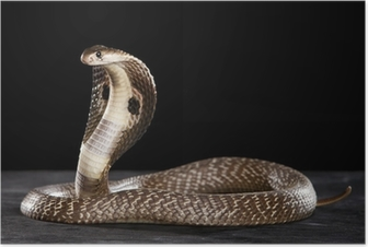 Deadly Cobra on table.. What a beauty Poster