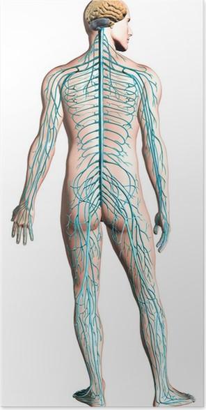 Póster Diagrama del sistema nervioso humano. • Pixers® - Vivimos ...
