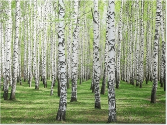 Poster Eerste lente greens in berkbosje