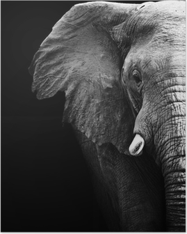 Elephant Close Up Poster