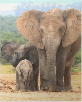 Elephant cow and two calves in different expressions. Poster