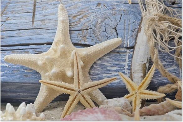 Poster Étoiles de mer et bois flotté contre le mur en bois bleu ...