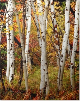 Fall Birch Trees Poster