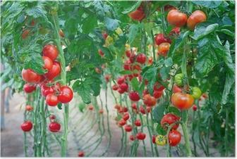 Poster Ferme de savoureuses tomates rouges sur les buissons