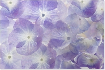 Poster Floral background.Soft hortensia pourpre.