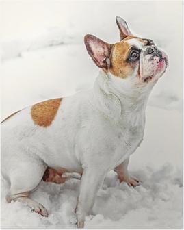 Poster Franse Bulldog op sneeuw.