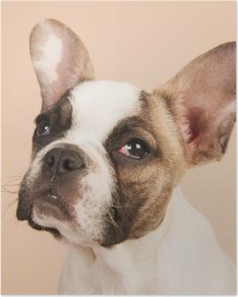 Poster Franse bulldog puppy