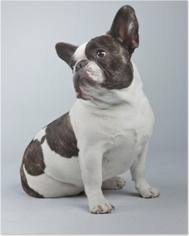 French bulldog black and white isolated against grey background. Poster