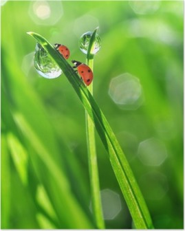 fresh morning dew and ladybirds Poster
