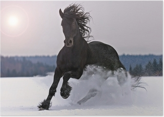 Frisian horse on snow Poster
