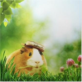 Funny guinea pig or cavia. Abstract natural backgrounds Poster