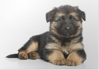 German shepherd puppy on white background Poster